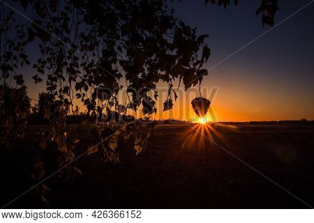The Summer Sun Rising Behind The Birch Tree. Tree Silhouette Against The Morning Sky. Summertime Sce