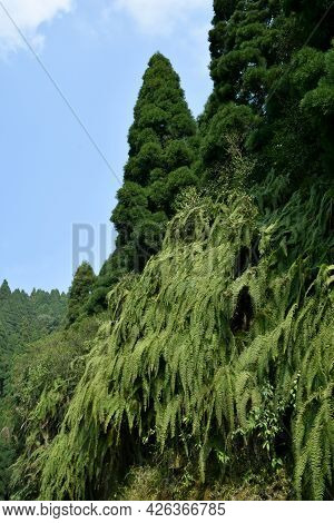 Mountain Slope Covered With Himalayan Green Ferns, Are Often Called Fronds. Fronds Are Usually Compo
