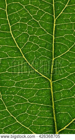 Fresh Leaf Of Fruit Tree Close-up. Green And Yellow Mosaic Pattern Of Veins And Plant Cells. Beautif