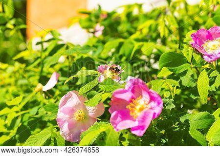 Honey Bee Sitting, Collecting Nectar And Pollinating Rosehip Dogrose Pink Flowers On Natural Green L