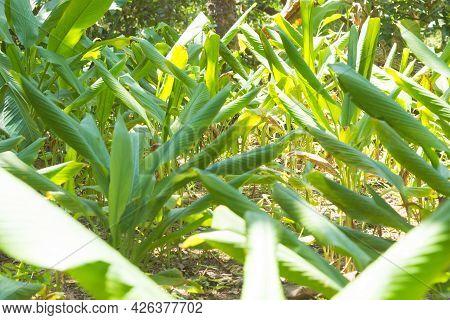 Curcuma Cultivation From Zanzibar, Tanzania. Spices Cultivation