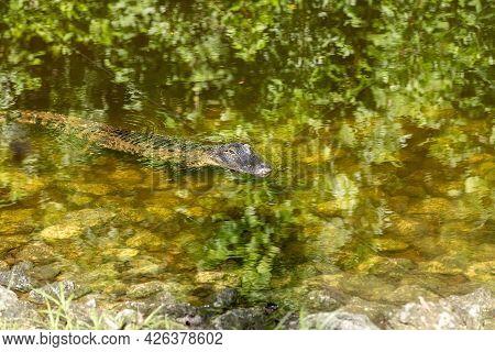 Small Juvenile Alligator Alligator Mississippiensis Swims In A Stream In Naples, Florida.