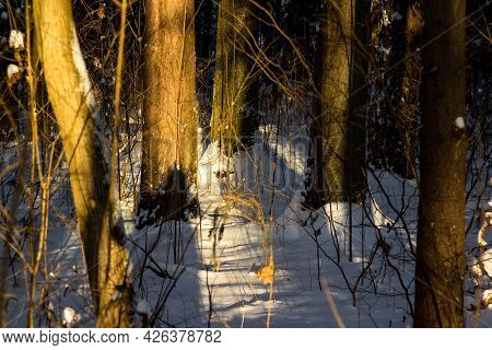 Sunlit Section Of Winter Forest, Shadows In The Forest At Sunset