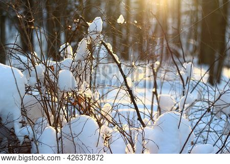 Pure White Snow Illuminated By Sunbeams Lies On The Bushes, Beautiful Winter Background