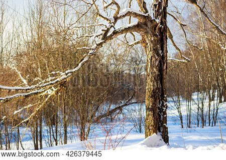 Broken Old Birch Covered With White Snow On A Sunny Winter Day
