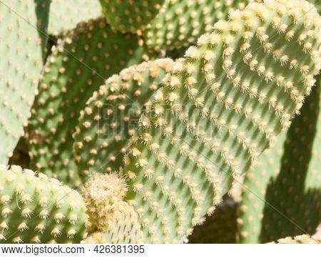 Opuntia Cactus In Spain Angel Wings Or Bunny Ears Macro Image.