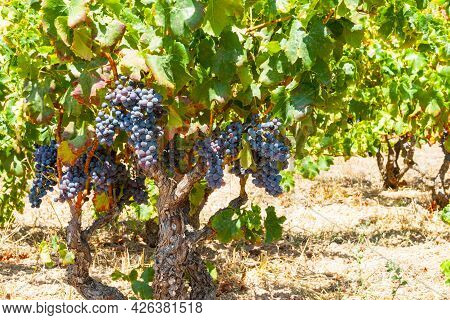 Grape Vines With Blue Ripe Grapes Just Out Alcalali, Costa Blanca Spain.