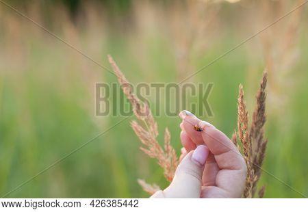 Seven-spot Ladybird On Woman Finger Preparing To The Fly. Coccinella Septempunctata, The Seven-spot