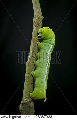 Large Green Caterpillar Of The Hawkmoth Moving Up Plant Stem To Find Food To Aid With Transformation