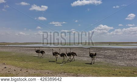 A Flock Of African Ostriches Are Walking In The Savannah. Yellowed Grass On The Ground. In The Dista
