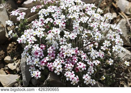 Dwarf Phlox (phlox Condensata) - Small White Flowers In The Mountains Of Crimea, Alpine Zone, Wild P