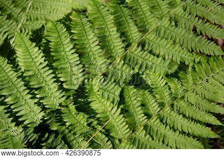 Natural Ferns In Wild Forest In Quebec, Canada