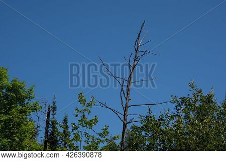 Dead Tree In Canadian Forest, Quebec, On A Summer Day
