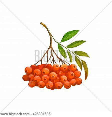 Rowan Berry Fruits Or Berries Bunch Isolated Realistic Icon. Vector Organic Food From Farm Garden An