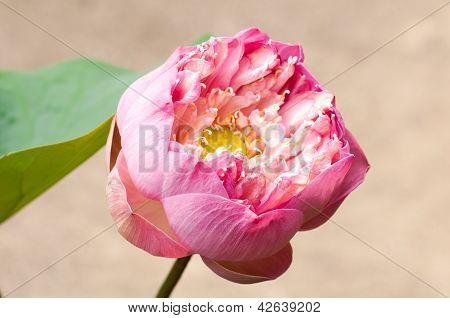 Pink Blooming Lotus Flower