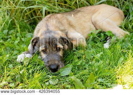 Three Month Old Irish Wolfhound In The Garden.the Puppy Of Breed The Irish Wolfhound Rests On A Gree