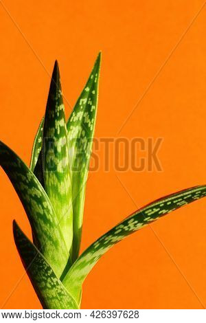 Aloe Is Mottled On An Orange Background. Minimalism And Bright Color Combinations. Flowers In The In