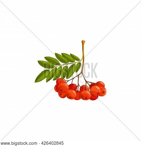 Rowan Berries Branch, Autumn And Fall Rowanberry Forest Tree With Leaves, Vector Isolated Icon. Than