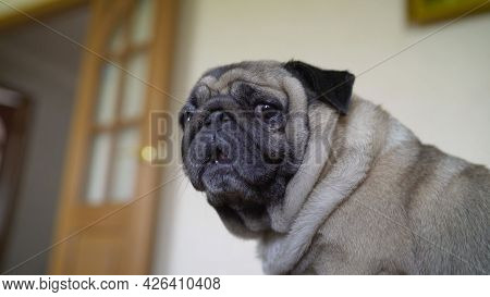 Adorable Pug Dog Standing On Floor At Home, 3 Year Old , Looking At The Camera. The Pulcherrimus Ga