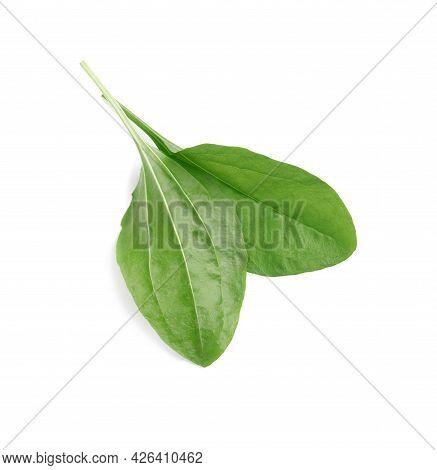 Green Broadleaf Plantain Leaves On White Background