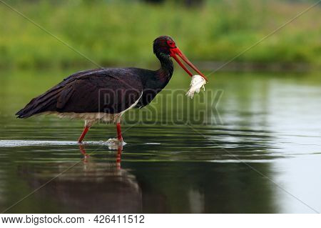 The Black Stork (ciconia ) Stork With A Fish In Its Beak.black Stork With Green Background. Big Blac