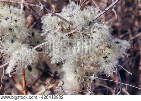 Wild Clematis Vitalba (traveller's Joy) Dry Silky Fluffy Seed Heads Close Up.