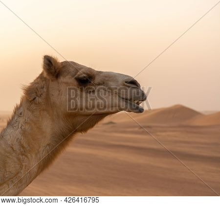 Selective Focus On The Headshot Of A Camel In A Desert With Sand Dunes In The Background During Suns