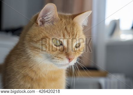 Portrait Of A Red Haired Domestic Cat Who Looks Away In A Detached Way