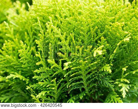 Close-up Of The Green Branches Of Thuja. Selective Focus. Ornamental Plant