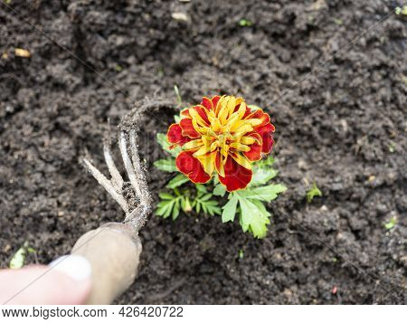 The Gardener Uses A Slipper To Remove Weeds Around The Flowers. Gardening, Hobbies. Top View, Flat L