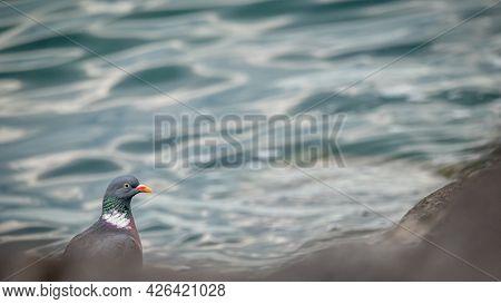 One Pigeon Beside Water. Lake Geneva, Lausanne, Switzerland. Beauty In Nature.