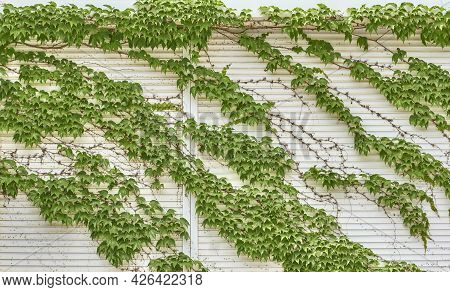 Green Ivy Texture On White Siding Wall As Abstract Background. Climbing Plants In Garden Design.