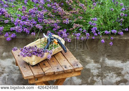 Seasonal Pruning Of Lavender. A Bunch Of Cut Lavender In A Wicker Basket And Pruning Shears Against