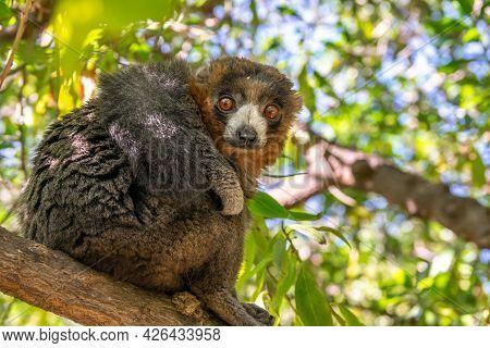 Mongoose Lemur, Eulemur Mongoz, Madagascar Endemic Primate
