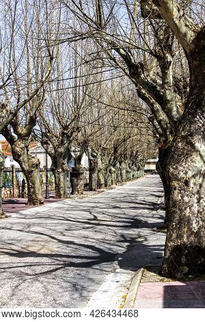 Street With Beautiful And Colossal Trees In Spain