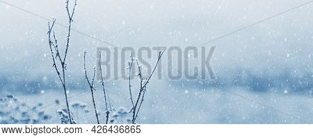 Covered With Snow And Frost Dry Grass Stalks During A Snowfall, Panorama, Copy Space. Christmas Mood