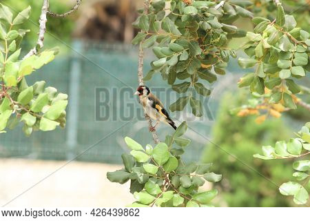 Beautiful And Colorful Goldfinch Perched On Carob Tree Branch In Spain
