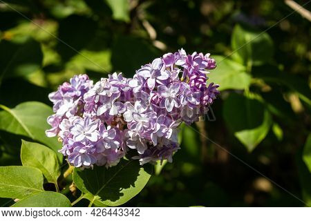 A Branch Of Lilacs On A Tree In The Park Against A Blurred Background. Lilac Flowers Bloom Beautiful