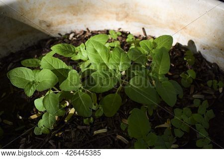 Holy Basil Leaves Germinating In Wet Soil In Pot. Young Basil Leaves Sprouting From Seeds Amidst Bei
