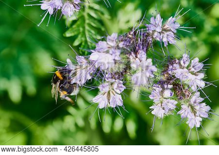 Close Up Of A Bumblebee Collecting Pollen On A Bee Friendly Phacelia Flower