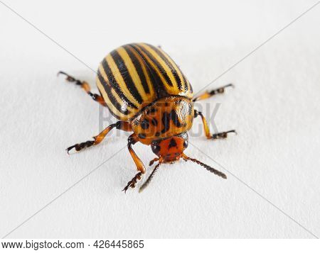 One Colorado Beetle On A White Paper Surface Close-up. Not Isolated. Bright Illustration About Insec