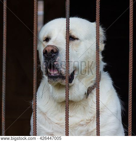 Central Asian Shepherd Dog Sits In The In A Cage. Sad Alabay Dog Behind Bars.