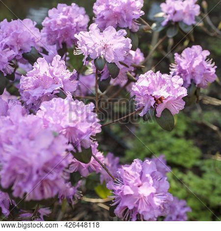 The Evergreen Rhododendron Hybrid Haaga Has Fully Opened Its Bright Pink Flowers In The Stone Pot. W