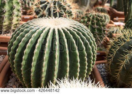 Ferocactus Glaucescens, The Glaucous Barrel Cactus, Is A Species Of Flowering Plant In The Family Ca