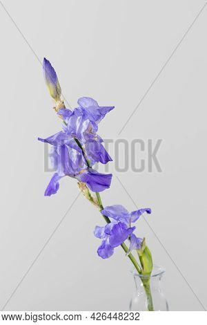 Blue Iris Is On The White Grey Background