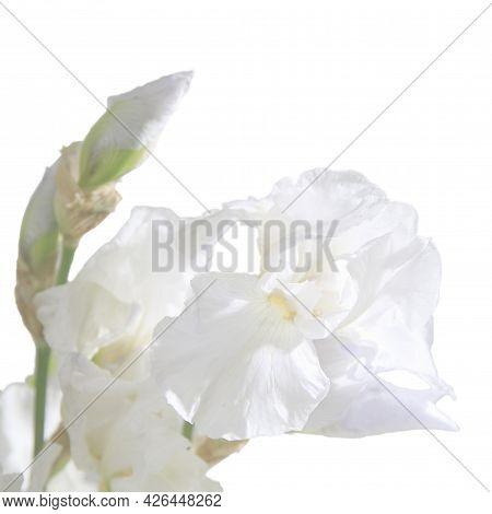 White Iris Is On The White Background