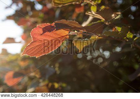 Red Alder Leaf In Autumn Forest At Sunset. Blur