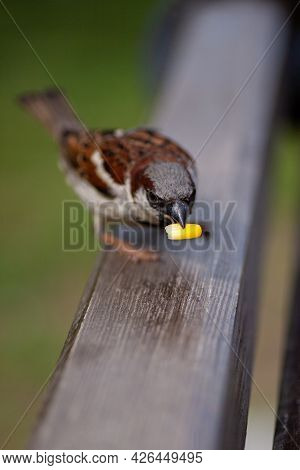 Macro Portrait Of A Full-length Sparrow Sitting On The Back Of A Bench And Holding A Grain Of Corn I