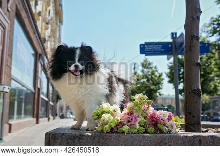 Pomeranian Puppy And  Bouquet Of Roses