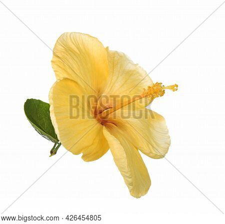 Hibiscus Flower Yellow Isolated On White Background